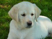 Suche Labrador oder Golden Retriever