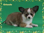Wunderschöne Chihuahuawelpen schoko