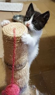 Sizilianische Katzenbabys mit Papiere Kitten