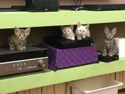 Savannah F6 Kitten aus der