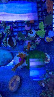 Korallen SPS LPS und Weichkorallen