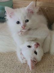 Zuckersüße Perser - Siam - Mix Katzenbabys