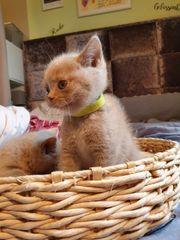 BKH Kitten Lilac