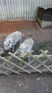 Hängebauchschweine 2