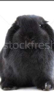 schwarzes Kaninchen 6 Monate