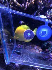 Korallen Fisch Hawaii-Doktorfisch