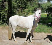 Schickes Welsh B Pony zu