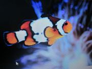 Clownfisch Amphiprion ocellaris snowflake