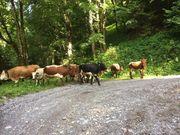 Einsteller Rinder und Schafe