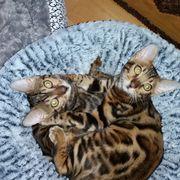 Zwei Bengal kitten
