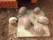 NZ Landschildkröten Griechen Breitrand 2019