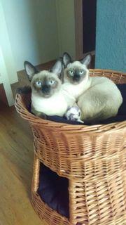 2 Reinrassige Simkatzen abzugeben