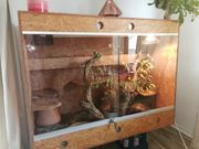 3 ausgewachsene Kornnattern Terrarium Gelege