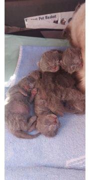 BKH Katze grau Babykatze Scottish