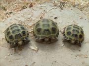 Nachzuchten Steppenschildkröte