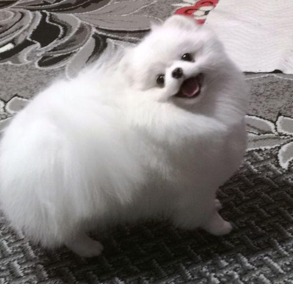 Pomeranian schneeweiß Deckrüde kein Verkauf
