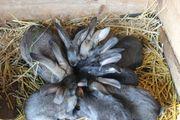 Kanienchen