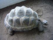 Seychellen Riesenschildkröten Aldabrachelys gigantea 0
