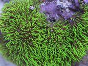SUCHE Korallen Riffplatte Meerwasser im