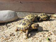 Schildkröten, Landschildkröten, (Steppenschildkröte)