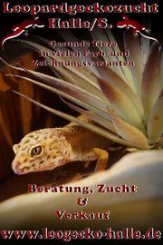 Leopardgeckos bereit für Abgabe