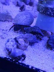 Meerwasser Krebse Einsiedler