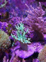 meerwasseraquarium korallenableger korallen meerwasser