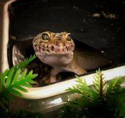 Leopardgecko Hypo 0 1 von