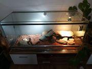 5 Leopardengeckos mit Terrarium und