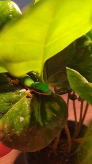 Phelsuma Nigristriata Schwarzstreifen Taggecko