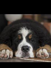 Suchen Familienhund Berner Sennenhund Leonberger