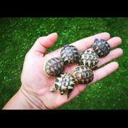 weibliche griechische Landschildkröten 2019 abzugeben