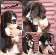 Welpe Hündin Aithana 6 Monate