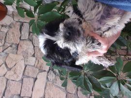 Shih-tzu mix Malteser abzugeben: Kleinanzeigen aus Trossingen - Rubrik Hunde