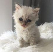 Zauberhafte Selkirk Rex Kätzchen mit