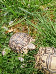 Pantherschildkröten Geochelone Pardalis