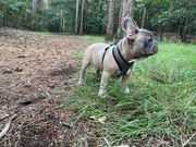 Fransa Bulldog