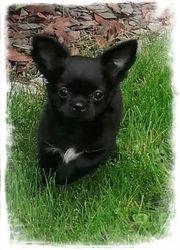 Chihuahua Zuckerpuppe mit AT