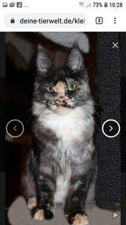 3 Maine Coon Kitten suchen