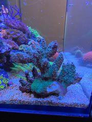 Meerwasser Acropora Ableger