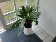 Streifenfarn Asplenium nidus 60 x
