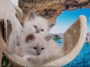 Heilige Birma Siam Kitten abgabebereit