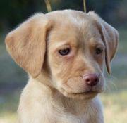 Labrador Welpen m Ahnenpass in
