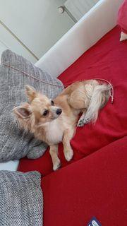 Langhaar Chihuahua Rüden