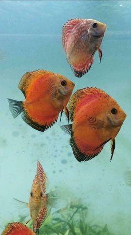 Fische, Aquaristik - Wunderschöne Stendker Diskusfische