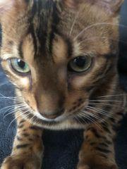 zuchtkater Bengal Kater Kitten top
