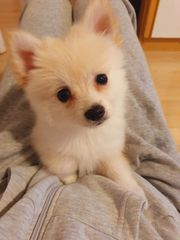 Pomeranian Rüde zum verkaufen