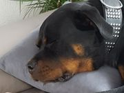 Rottweiler rüde