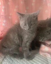 British Kurzhaar BKH Karthäuser Kitten