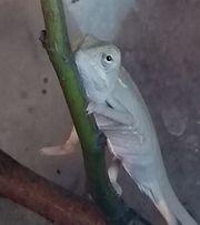 Jemen Chamäleon Weibchen vom 15